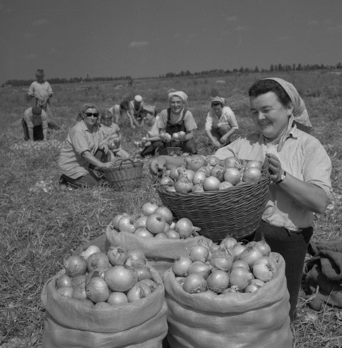 """Hagymát hagymával. A hetvenes években évente 270 ezer tonna vöröshagymát szállítottak Makó környékén a ZÖLDÉRT raktáraiba, ma ennek a töredékét termelik meg. A Kossuth Téesz még ma is létezik, de """"három-négy vagon, ha áll ott összesen hagymával, a nyolcvanas években volt vagy kétszáz is"""" - írtuk a jó eltarthatóságától híres makói hagyma hanyatlásáról. A kisüzemi tájkultúrából kifejlődött hagymatermelésnek az egyik csúcsa volt ez az időszak."""
