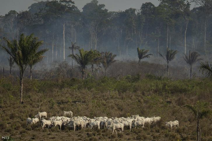 Erdőtűz füstjében áll egy marhacsorda az Amazonas-medencében a brazíliai Pará szövetségi államban lévő Novo Progresso közelében 2019. augusztus 25-én. A brazil kormány bejelentette hogy 44 ezer katonát és katonai repülőgépeket vet be az erdőtüzek megfékezése érdekében. A nyolc dél-amerikai ország területén fekvő 63 millió négyzetkilométeres Amazonas-medence legnagyobb részét esőerdő borítja. Az esetek zömében emberek gyújtják fel az erdőt hogy így nyerjenek nagyobb megművelhető legelőként használható vagy beépíthető területet.