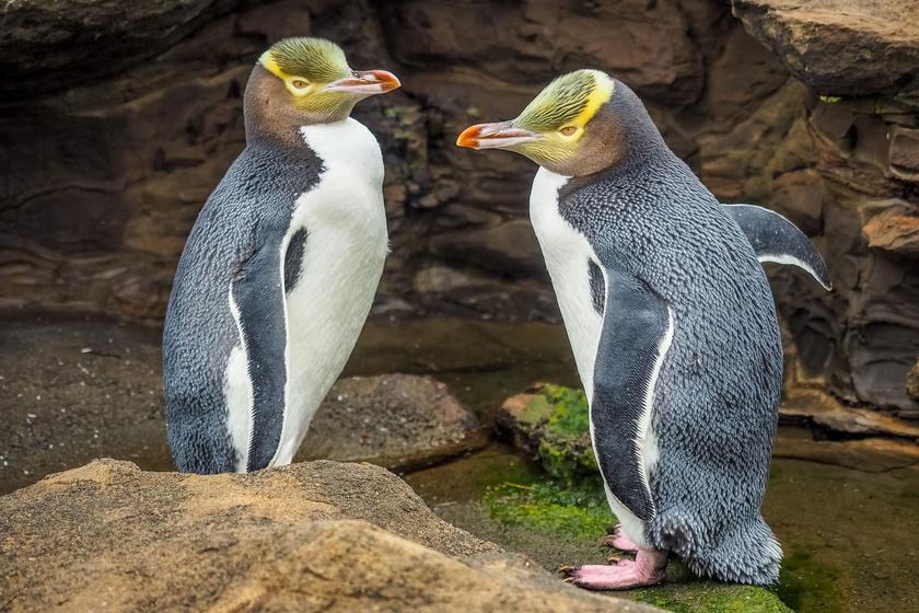 sargaszemu-pingvin