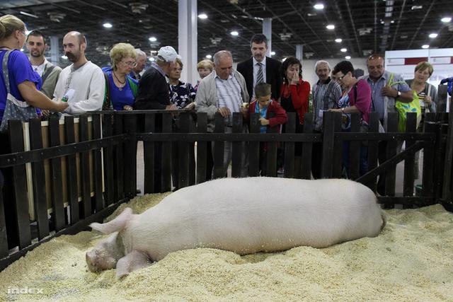 Béla még tavaly, az Országos Mezőgazdasági és Élelmiszeripari Kiállításon