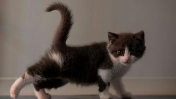 10,5 millió forintba került Kína első klónozott macskája