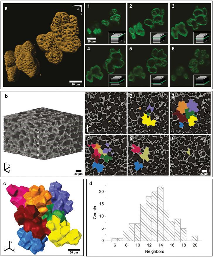 A dióhéj sejtjeinek elektronmikroszkópos képe, és térbeli modelljük