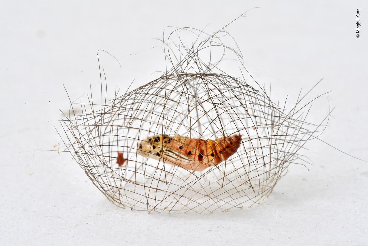 """A hajháló-báb (The hair-net cocoon). A kép nem egy esőerdőben vagy egy sziklán készült, hanem egy vécé falán, pedig a hernyóknak inkább azok lennének a megszokott helyei a bebábozódásra és arra, hogy aztán éjjeli lepkévé váljanak. De ennek a példánynak pont a vécé fala tetszett meg, és itt """"épített"""" finom hálóból szőtt selyemgubót magának. A gubónak elvileg néhány ragadozó ellen védelmet kell biztosítania, de azért kőkemény védelemről nincs szó. A lárva a gubóban selymet bocsát ki, és – ahogy az az elfordított kamerával készült képen (nem) látható – szinte láthatatlan szálakkal függeszti fel magát, hogy aztán bebábozódjon."""