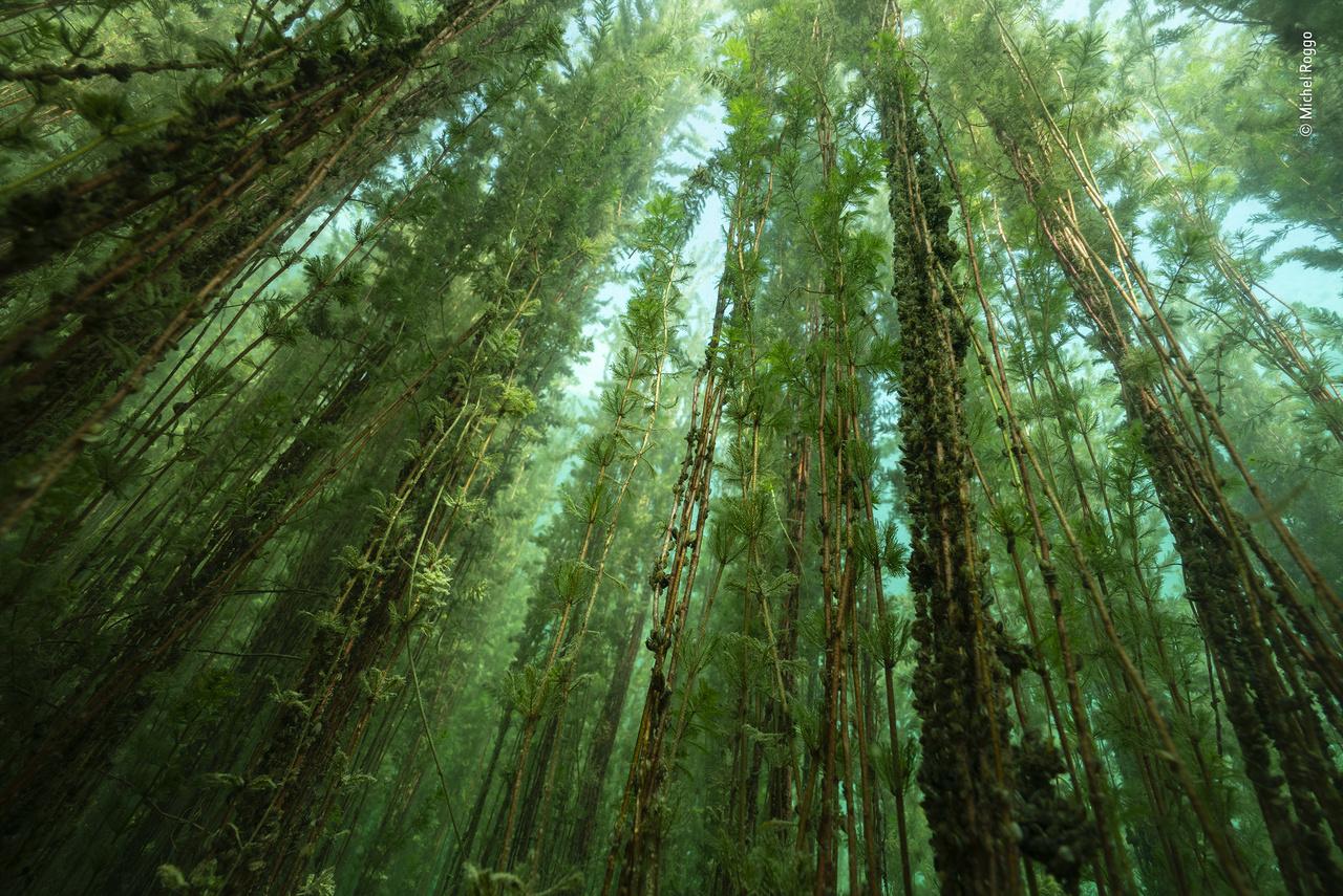 """Édesvízi rengeteg (The freshwater forest). Az idei válogatás talán leginkább csalóka fotója: nem, a képen nem egy erdő látható. A fotós a svájci otthonához közeli Neuchâtel tó fenekén készítette a felvételt a víztükör felé törő hínár-dzsungelről. A vékonyka """"fatörzsek"""" ugyanis az Európában, Ázsiában és Észak-Afrikában őshonos füzéres süllőhínárhoz tartoznak, amely olyan sűrűre nő a tavakban és lassú áramlású vizekben, hogy az árnyékával kiszoríthat más fajokat is."""