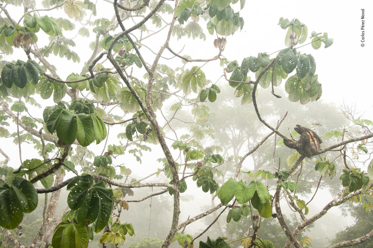 Lazulás a lombsátorban (Canopy hangout). A 11 és 14 év közötti gyerekek versenyén díjazott képen – a narancsszínű bundából és a háton húzódó sötét csíkból láthatóan – egy felnőtt, hím füstös háromujjú-lajhár szerepel természetes környezetében és természetes lomhaságában, a panamai Soberanía nemzeti parkban, egy cecropia fán. A lajhár egyébként szép lassan, de azért néha meg is mozdult, hogy újabb és újabb leveleket érjen el és tömjön a szájába.
