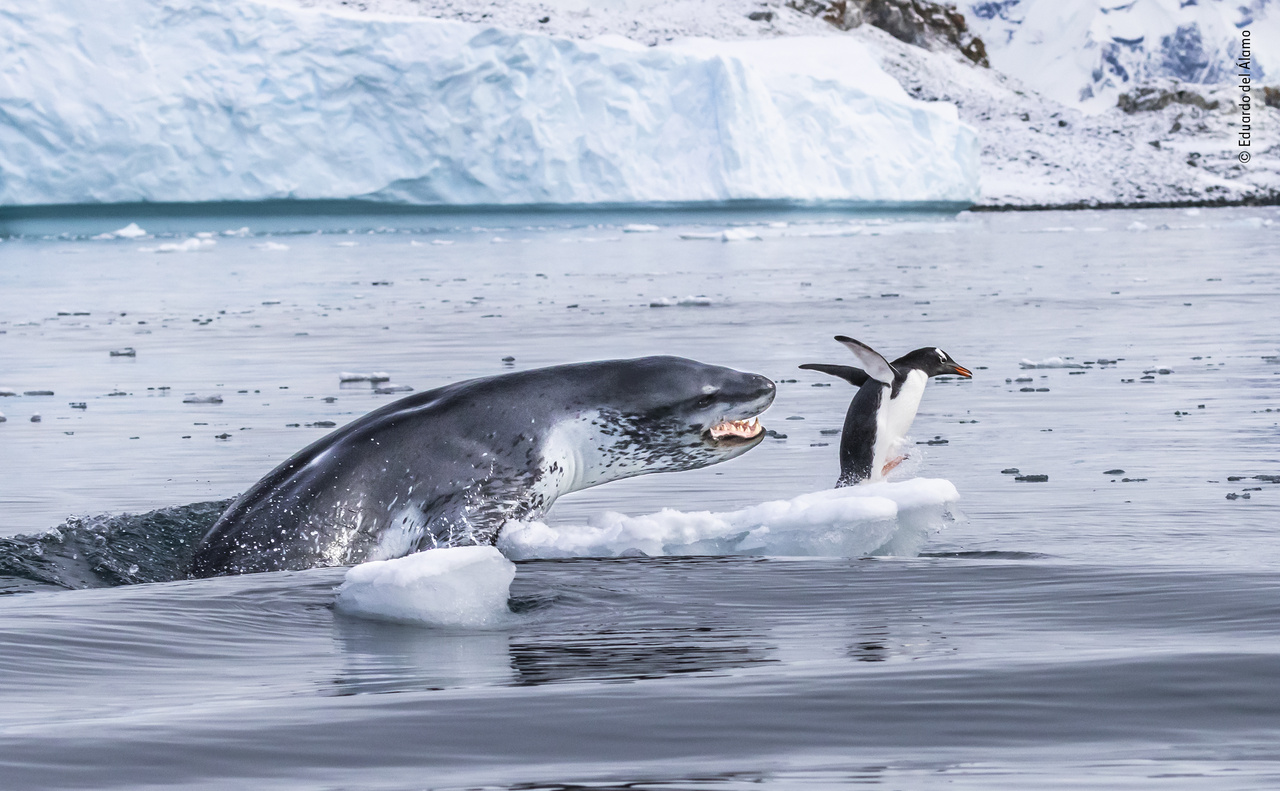 Ha a pingvinek tudnának repülni (If penguins could fly). Hiába úszik minden pingvin közül a leggyorsabban a víz alatt, ennek a szamárpingvinnek a levegőben kellett volna teljesítenie, miután megtámadta egy leopárdfóka. A fotós pedig eddigre már elő is készítette a fényképezőgépét, számítva arra, ami tényleg történt, mivel a pingvinnel ellentétben ő látta a vízben járőröző fókát, amely még az ő gumicsónakja is elúszott a vacsorája felé közeledve. A pingvin az első alkalommal még sikerrel megmenekült, de aztán macska-egér játék kezdődött, mivel a leopárdfókák a macskákhoz hasonló módon hajlamosak a megölése előtt játszani az áldozatukkal. Ez történt még jó negyed óráig is ezzel a pingvinnel, mielőtt a fóka végre megette volna.