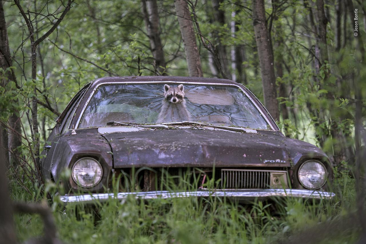 A szerencsés betörő (Lucky break). Banditaképű mosómedve kandikál ki egy 1970-es Ford Pinto ablakán lévő törésből a kanadai Saskatchewan egy elhagyatott farmján, miközben a hátsó ülésen az öt kölyke játszadozik. Az autó a tulajdonosnak már nem kellett, a mosómedve viszont semmilyen kereskedésben nem találhatott volna jobbat, mivel a szélvédőn a törött üveg szélei tompák, a lyuk pedig nem elég nagy ahhoz, hogy beférjen rajta a legfőbb ellensége, a prérifarkas, márpedig ez a lyuk az egyetlen bejárat az autóba. A fotós már évek óta, minden nyáron erre a pillanatra várt: a szerencsés estéjén épp elég hosszú ideig nézelődött az anyuka a lyukból kidugott fejjel ahhoz, hogy a kép végre elkészülhessen, mielőtt átpréselte magát rajta, és elindult élelmet keresni a kölykeinek.