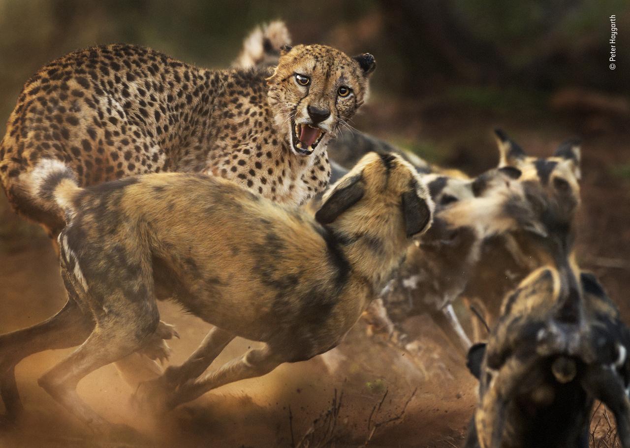 Kutyákkal civakodó nagymacska (Big cat and dog spat). Hiába, a macska az macska, a kutya meg kutya – már csak egy egér hiányzik a képről, hogy teljesen legyen a rajzfilmes mókatár. A dél-afrikai KwaZulu-Natalban készült kép egy ritka találkozást örökít meg egy gepárd és egy falka afrikai vadkutya között. A kutyák egy varacskosdisznót üldöztek – amely a kép készítése előtt már sikeresen meglépett –, amikor összefutottak a nagymacskával. Eleinte nem volt ilyen feszült a helyzet, de amikor a falka mind a 12 vadkutyája megérkezett, a kutyák felbátorodtak, és körbevették a fújó, lesunyt fülű gepárdot. Végül nem került kenyértörésre a sor: miután a kép elkészült, a gepárd elmenekült. A két állatfaj találkozása már csak azért is ritka, mert mindkettőből csak 7-7 ezer él már természetes élőhelyén.