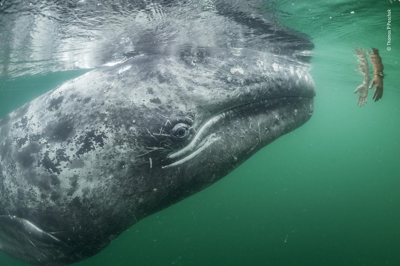 Kézzelfogható bizalom (Touching trust). Egy fiatal és kíváncsi szürke bálna viselkedik szinte kutyamódra barátságosan egy turistával, aki egy hajóról nyújtotta ki felé a kezét. A nyugat-mexikói Baja California öblében nem ritka a hasonlóan bizalmas bálnaviselkedés: a borjak örülnek egy kis hátvakarásnak vagy fejsimogatásnak. De az itteni helyzetnél a valóság sokkal szomorúbb: ez a lagúna gyakorlatilag egy bálnamenhely, mivel a bálnavadászat a szürke bálnát is a kihalás szélére sodorta.