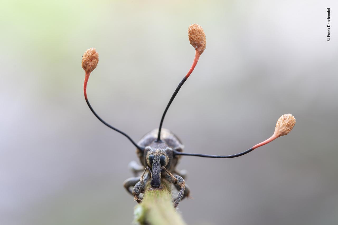 """A mászó halott (The climbing dead). A páfrányba kapaszkodó zsizsik üresen csillogó szeme tényleg a halálról árulkodik. Az elpusztult állat azonban élőhalottként viselkedik egy """"zombi gomba"""" fertőzése miatt; a torból kinövő antennák ennek a gombának a termőtestei. A parazita még a zsizsik életében kezdett el terjeszkedni a testében, aztán átvette az uralmat az állat izmai felett, és mozgásra kényszerítette, hogy a gomba számára megfelelő magasságba másszon, és ott aztán erősen megkapaszkodjon a növényben. A rovar belsőségeivel táplálkozó gomba itt megnőtt, a termőtestek tetején látható kapszulákból pedig a fénykép elkészítésének másnapjára már kiszabadultak az újabb rovarokat megfertőző spórák, a gomba pedig kiszáradt."""