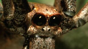 Egy pók éjjelente újranöveszti a szeme egy részét, ami minden hajnalban megsemmisül