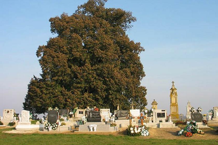 Szőkedencs 700 éves hársfa