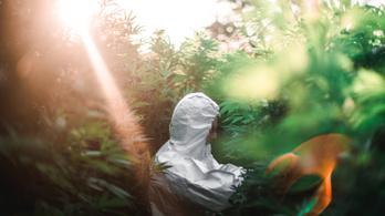 101 tő marihuánát találták egy becskei ház udvarán