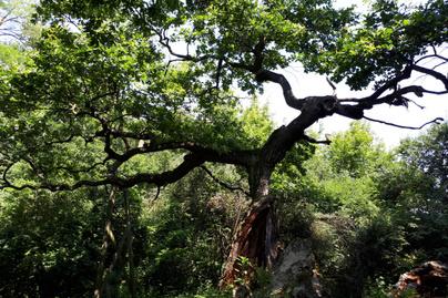 zsennyei-tölgyfa