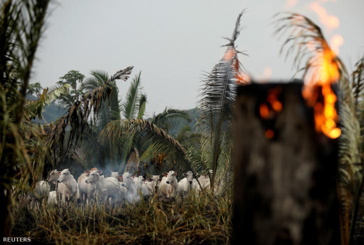 Legelő marhák a leégett amazonasi erdőben Apuiban 2019. szeptember 3-án