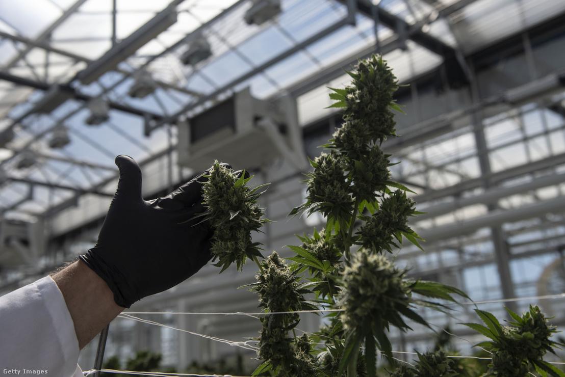 Orvosi célú felhasználásra termesztett marihuána növény