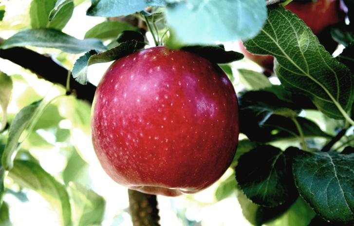 CosmicCrisp-Tree Apple-1.png