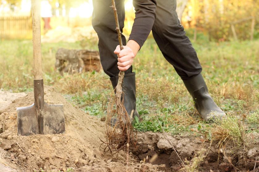 Így ültess most gyümölcsfát, hogy jövőre már élvezhesd a termést: mutatjuk a módszert