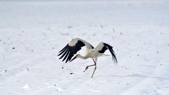 Sok gólya már itthon telel a klímaváltozás és az emberi tevékenység miatt