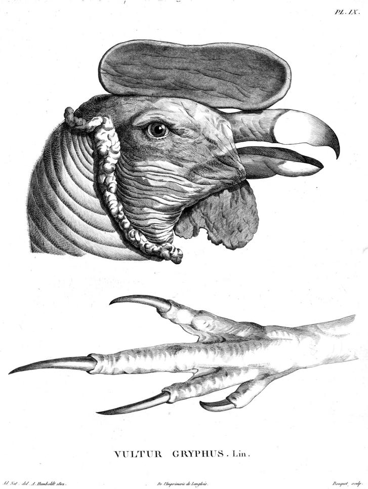 Humboldt rajza az andoki kondor fejéről, lábáról, 1806