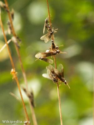 Párosodni készülő hangyák
