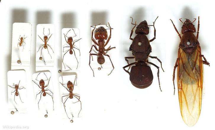 Dolgozó hangyák balra és két hangyakirálynő jobbra