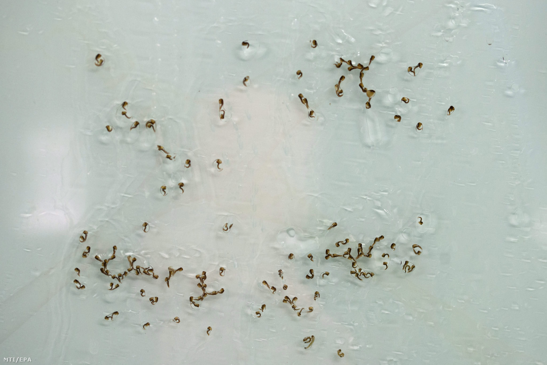 The larvae of the zika-spreading Aedes aegypti in the Insect Pest Control Laboratory of the International Atomic Energy Agency (IAEA) in the Austrian Seiberdorf, 10 February 2016. The World Health Organisation (WHO) declared a global health crisis on 1 February because of the alarming growth of the number of zika-infection cases in the american continent.