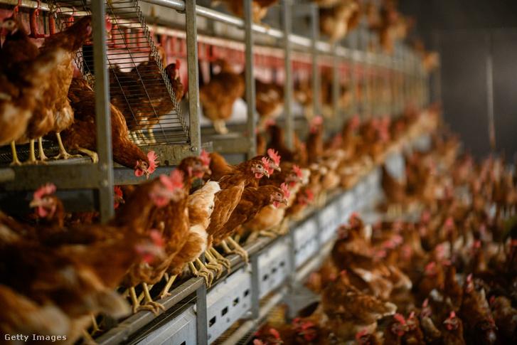Csirkefarm Iserlohnban, Németországban