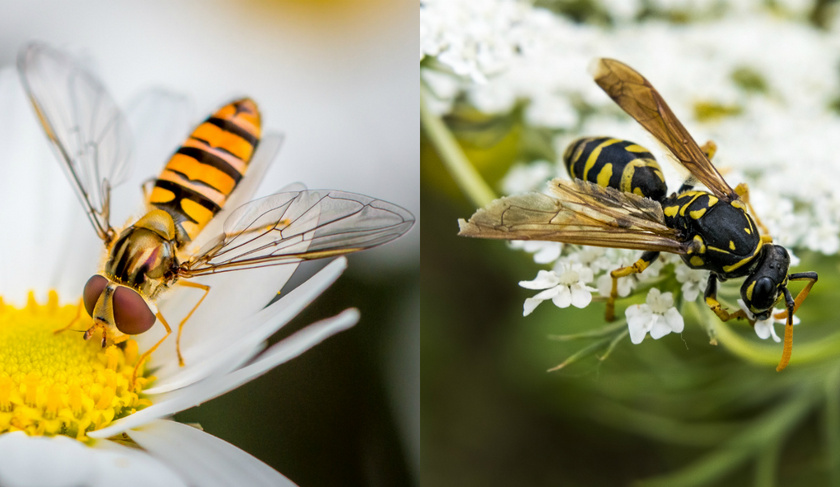 A zengőlégy az egyik leghasznosabb légy. Beporozza a virágokat éppúgy, mint a méhek. Egyik nagy fegyvere, hogy távolról megszólalásig hasonlít a darázsra, így a legtöbb állat inkább békén hagyja.