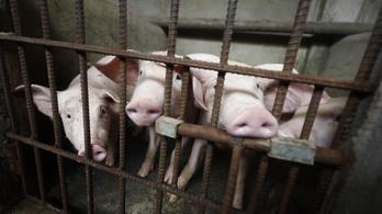 Hvg.hu: A választások miatt nem teszik meg a szükséges drasztikus lépéseket a sertéspestis ellen