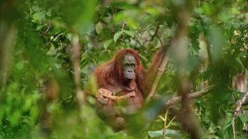 Haldokló orangután miatt áll a bál a cseh fotósoknál
