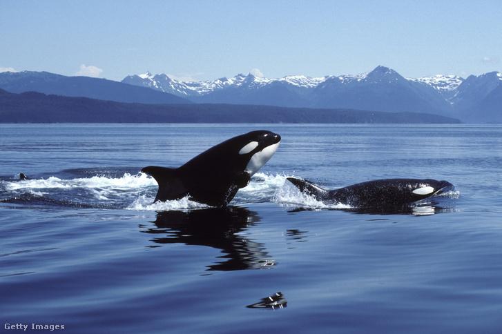 Kardszárnyú delfin (Orcinus orca)
