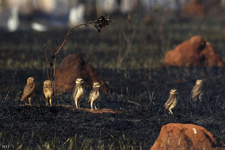 Baglyok állnak egy felperzselt mezõn a brazil szavannán a Brazíliavárostól mintegy 20 kilométerre délkeletre levõ Jardim Mangueiral közelében 2019. szeptember 17-én.