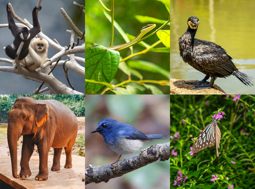 Hajnani gibbonok, ostorkígyó, kormorán, ázsiai elefánt, kék cyornis hainanus és trópusi pillangó.