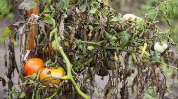 A szélsőséges időjárásra panaszkodnak a zöldségtermelők