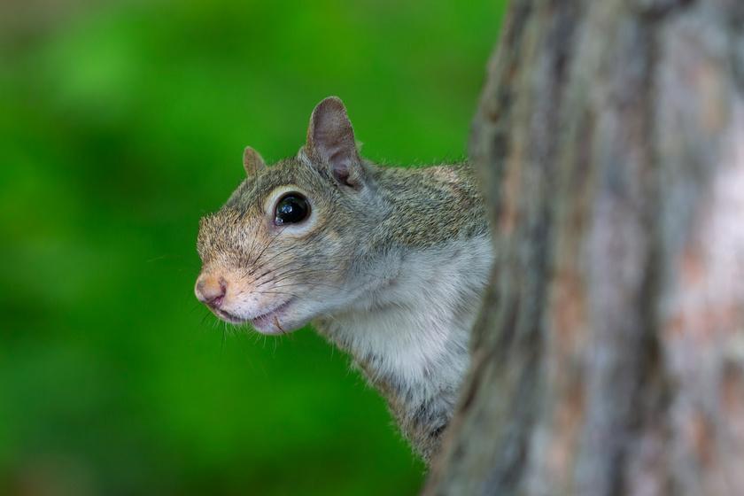 Kihallgatják a madarakat a mókusok: irtó cuki dologra jöttek rá a tudósok
