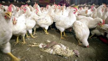 Az antibiotikum-rezisztens szuperbaktériumok az állattartó telepeken burjánzanak