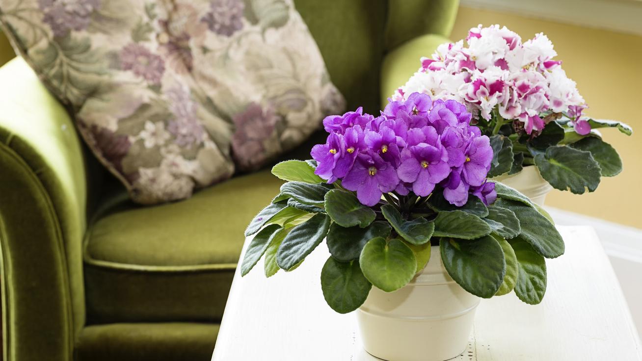 5 dolog, amit tegyél meg a fokföldi ibolyával, és rengeteg virágot hoz