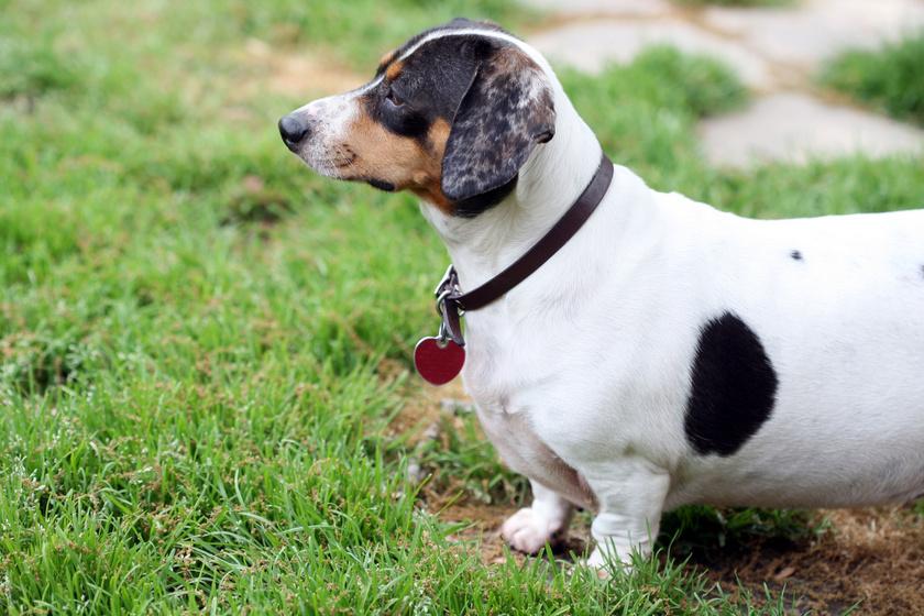 Ettől is függ, hogy elhízik-e a kutya: érdekes összefüggést tártak fel a kutatók