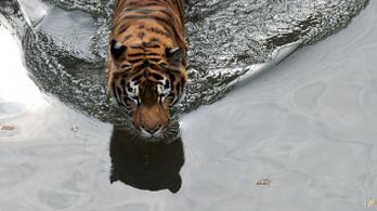 Apja védelmében lelőtt egy szigorúan védett szibériai tigrist