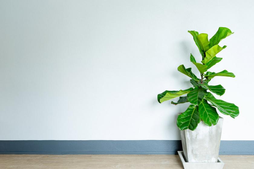 A lantlevelű fikusz nagy méretű levéldísznövény világoszöld, fényes levelekkel. Meleg, tűző naptól és huzattól mentes helyet igényel, különben ledobálja leveleit. A pangó vizet rosszul tűri, nedve mérgező. Ellenben nyáron akár a szabadba is ki lehet tenni.