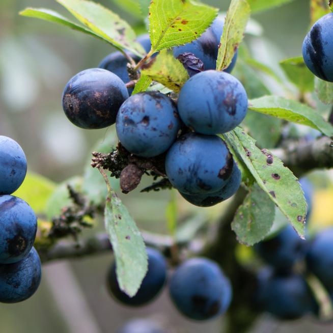 Ezek az ehető és a mérgező bogyók - Vigyázzunk az erdőben