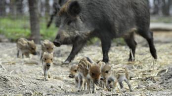 Már biztos: sertéspestis végzett a budakeszi erdőben elhullott vaddisznókkal
