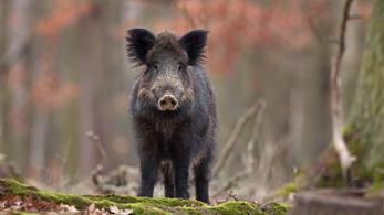 Drasztikus vaddisznóirtást akarnak a húsosok