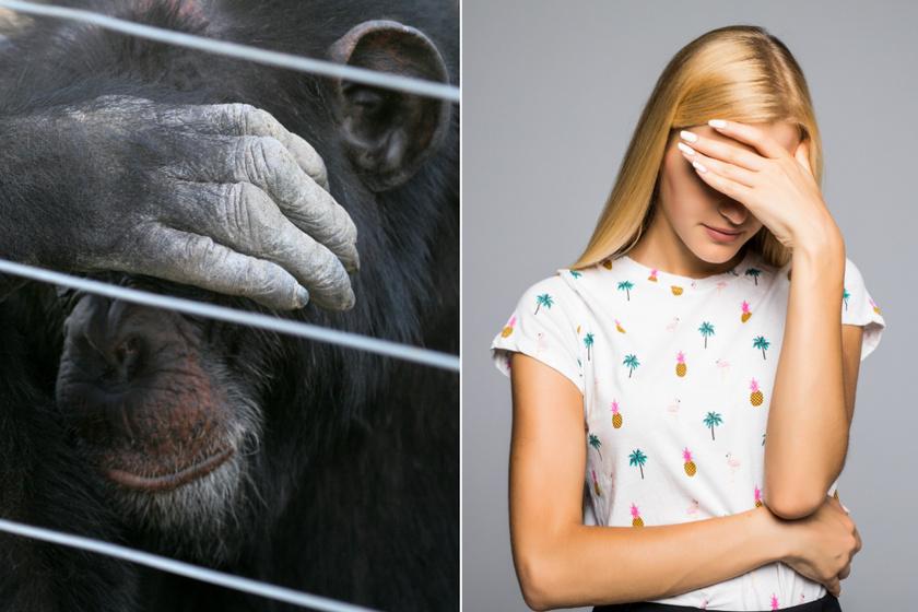 A szégyenérzet egyik leglátványosabb jelzése az arc eltakarása, és ez mind az embereknél mind a majmoknál is tapasztalható.