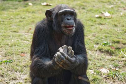 csimpánz gesztus