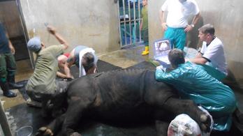 Béranyaság mentheti meg a szumátrai orrszarvút a kihalástól