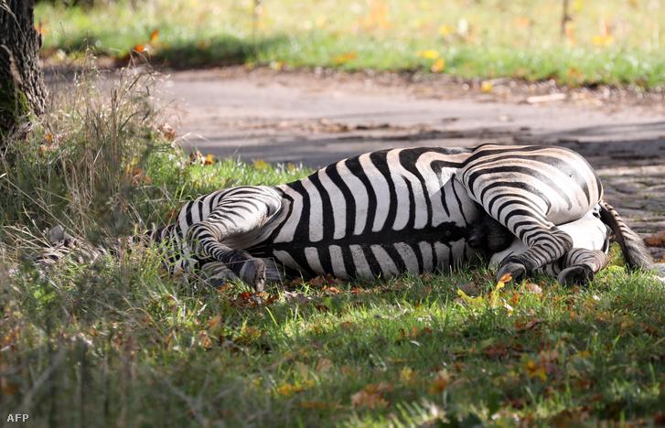 Lelőtt zebra Liepenhez közel