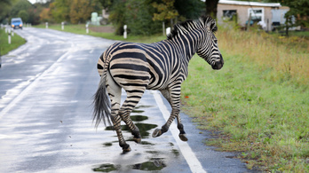 Németországban kilőttek egy cirkuszi zebrát, ami az autópályán rohangált