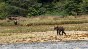 Csontsovány medvecsalád a klímakatasztrófa újabb szimbóluma